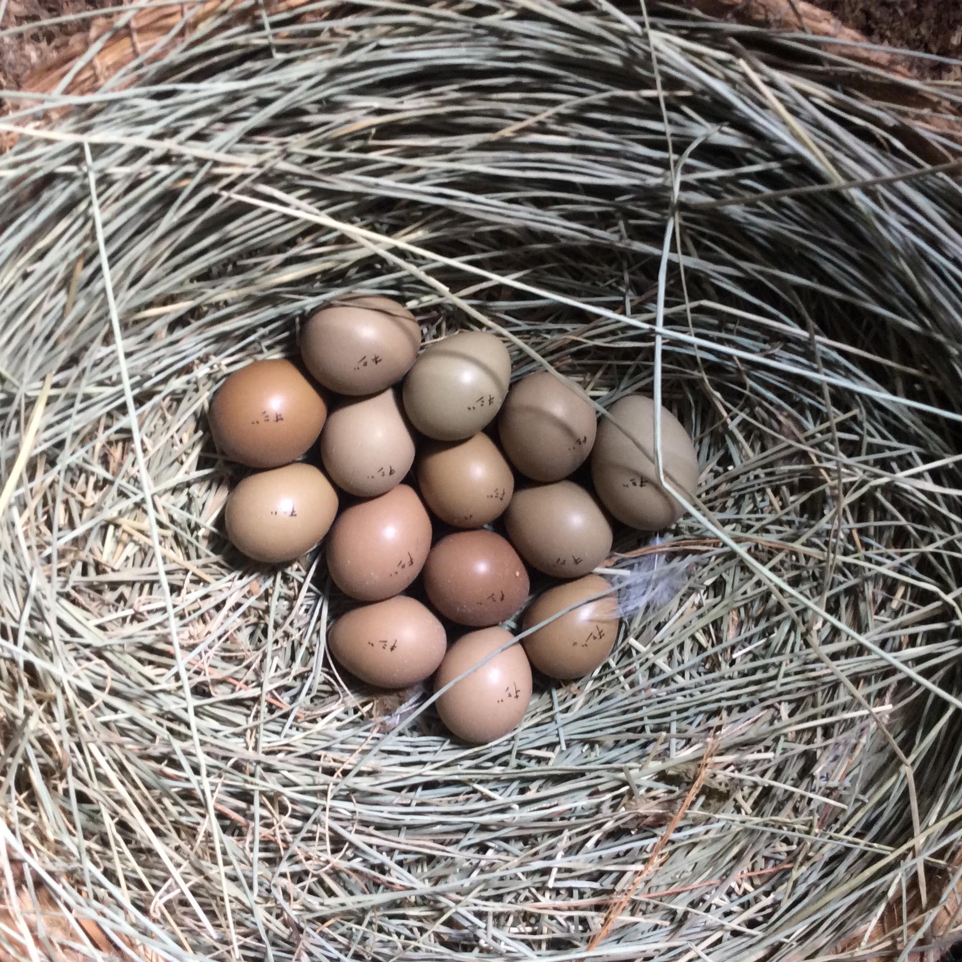 雉の卵2020