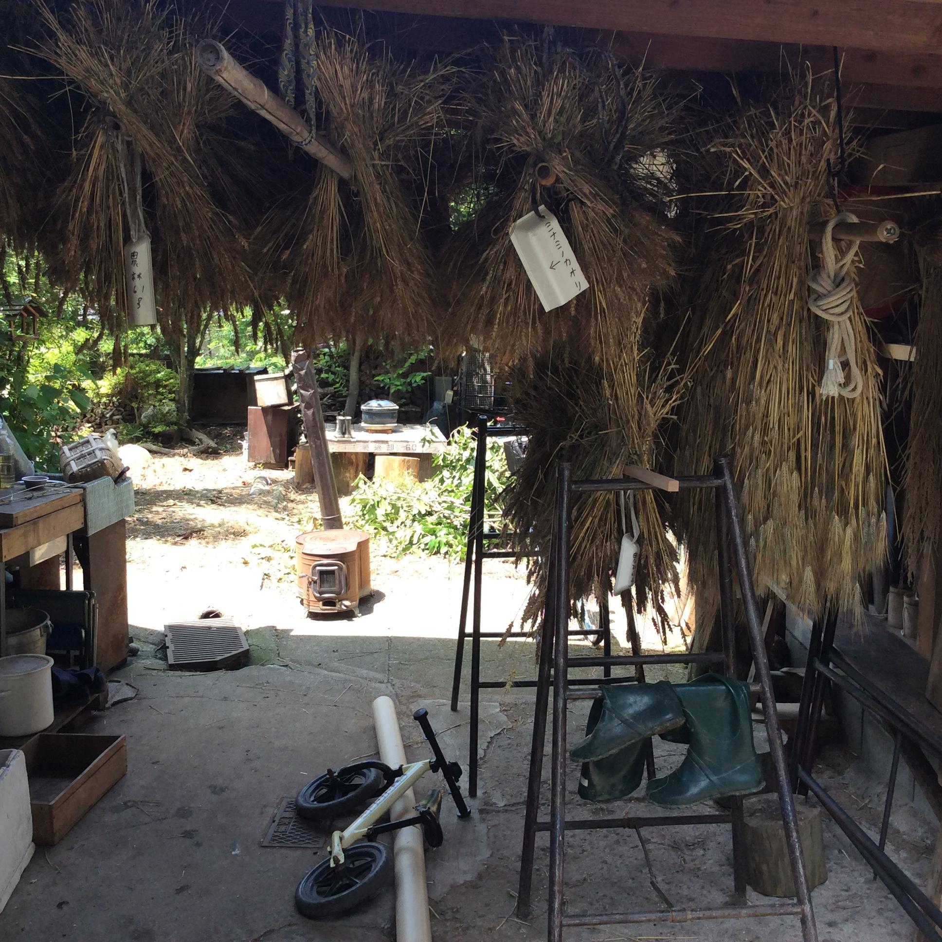 もち大麦 農林61 ミナミの香り|2020
